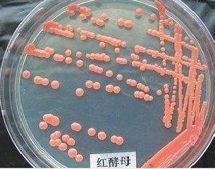 圆红冬孢酵母是一株性状优良的产油酵母
